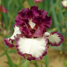 Schreiner's Iris Gardens grows high quality bearded and beardless iris rhizomes for your landscape design. Excellent customer service answers your iris growing questions. We ship iris worldwide at the right time for planting. Iris Flowers, Types Of Flowers, Exotic Flowers, Amazing Flowers, Planting Flowers, Beautiful Flowers, Cut Flowers, Iris Garden, Garden Plants