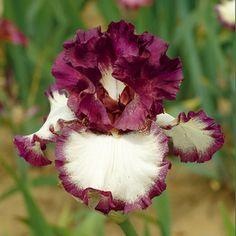 Sing a Song | Tall Bearded Iris  Schreiner's Iris Gardens