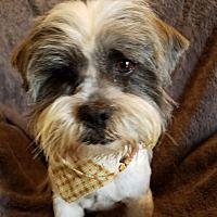 Hagerstown, Maryland - Shih Tzu. Meet Dalton, a for adoption. https://www.adoptapet.com/pet/21440375-hagerstown-maryland-shih-tzu-mix