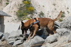 search and rescue dog training Search And Rescue Dogs, Dog Search, Belgian Shepherd, Shepherd Dogs, German Shepherds, Dog Training Equipment, Belgian Malinois Dog, Dog Collar Tags, Dog Training Videos