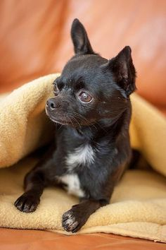 Lovely cute Chihuahua puppy More