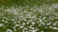 Field Of Daisies Wallpapers Group
