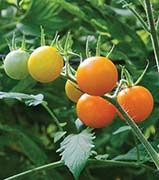 Sun Sugar – Indeterminate – 75 days to maturity –  This disease-resistant tomato is one of the very best cherry tomatoes and easy to grow. The fruits are fantastic for salads or to just set out in bowls for snacking. These tomatoes average 1/2 ounce in weight, and the vigorous vines produce hundreds of fruit, continually productive all season. Although thin-skinned, they don't crack open when ripe. Resistant to fusarium wilt and tomato mosaic virus.