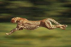 The extraordinary speed of the cheetah is achieved not only by its long legs, but by its extremely flexible spine which acts almost as a spring to propel it forward to bursts up to 70 mph. The tail helps it to balance as it follows the twists and turns of its prey. The cheetah does not have stamina though, and cannot pursue the hunt for more than a minute or so at that speed.