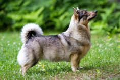 Are You Ready To Fall In Love With The Viking Dog? The Swedish Vallhund, thought to be one of the Welsh Corgi's ancestors.