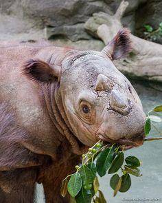Harapan - Sumatran Rhino