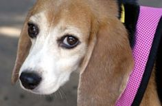 ADOPTED! Don Juan is one of the 10 rescued from a laboratory in San Diego, CA May, 2012. Don Juan is quite the Casanova!