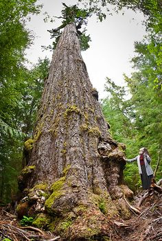 Watt stands next to the Red Creek Fir, the world's largest Douglas Fir tree located on Vancouver Island. Douglas Fir Tree, West Coast Canada, Victoria Vancouver Island, The Ancient One, Hiking Guide, Fantasy Forest, Old Trees, Big Tree, Tree Forest
