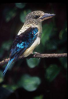 Aru giant kingfisher or Spangled kookaburra (Dacelo tyro) From the Jurong Bird Park, Singapore.