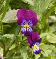 Johnny Jump Up Viola seeds  - These perky little flowers are old-fashioned heirloom favourites and look like miniature pansies with lavender, yellow, and white faces. Direct seed Johnny Jump Up viola seeds from April to July.
