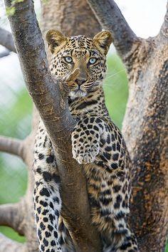 Leopardess in her tree