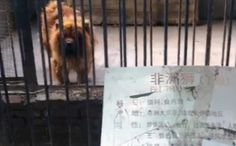 african lion in Chinese zoo is actually tibetan mastiff