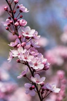 Visions of Plum Blossoms by Sarah Verkaik - Photo 134003845 - Cherry Blossom Pictures, Cherry Blossom Wallpaper, Frühling Wallpaper, Flower Phone Wallpaper, Cherry Blossom Flowers, Blossom Trees, Japanese Cherry Blossoms, Peach Blossoms, Flowers Nature