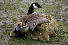 canada goose branta nelson jacket