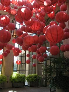 For Chrysanthemum Festival at Longwood this year, we hung 500 Chinese Lanterns in the East Conservatory Entry Pavilion. This simple element, added in an over-the-top way, transformed the space into a glowing, lively welcome to the Asian-inspired planting displays.