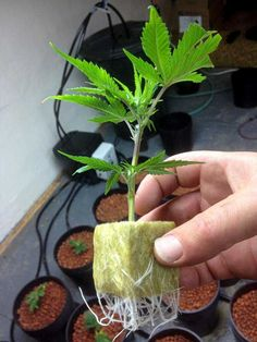 Picture of a cannabis clone that has made roots - you can see the roots coming out from the starter growing cube