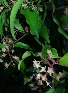 ANISEED MYRTLE, Backhousia. edible. native.  can buy from:    http://www.daleysfruit.com.au/bushfood/aniseedmyrtle.htm