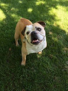 Emma the Bulldog waiting to chase her ball.