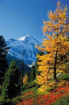 Voigt (F1 Online) - Herbstwald Lärche Ortler im Herbst, Stilfser-Joch Nationalpark, Alpen, Italien - Fotoprints