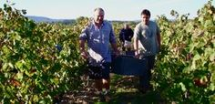 Harvest at Pierre Cros in the Minervois