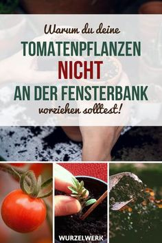 Pull and prick strong tomatoes yourself - root system - Pulling vigorous tomatoes forward and pricking: No matter whether you want your tomatoes to grow in - selber ziehen eierkarton