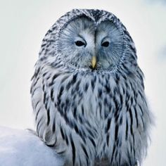 Miten pöllöt selviävät talvesta? | Opettajalle | Oppiminen | yle.fi