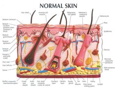 Hair Follicle Model Labeled - Bing Images
