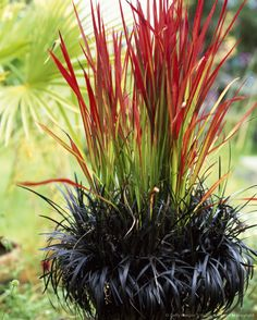 Container of Japanese blood grass (Imperata cylindrica 'Rubra' ) and Black mondo grass (Ophiogogon planiscapus 'Nigrescens') in Summer, UK