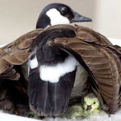 geese at pond at sunlight   Canada Goose makes an Alberta fire department home   Alberta   News ...