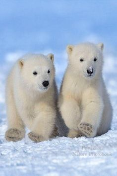 Cute polar bear babies ✿⊱╮