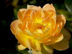 Rose in Open by Susan  Chan  on 500px