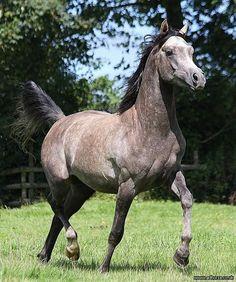 ZAS Thaqib Ibn Chiya - Ad Horse UK. Horses for sale