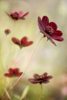 chocolate cosmos -- I really need some of these in my garden! Just adore Cosmos.