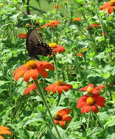 Grow Mexican Sunflower (Tithonia rotundifolia) for Butterflies! Mexican Sunflower, Butterfly Species, Florida Gardening, Largest Butterfly, Sunflower Seeds, Back Gardens, Amazing Flowers, The Great Outdoors, Perennials