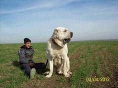El Kangal es una raza de perro guardián, originaria del distrito de Kangal, en la provincia de Sivas, Turquía. Es de tipo mastín inglés con un manto sólido de color crema o arena y una máscara negra.