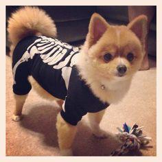 Baxter the #Pomeranian