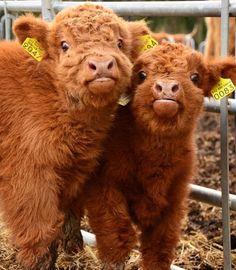 Tag your bestie Via Baby Farm Animals, Baby Cows, Cute Little Animals, Cute Funny Animals, Cute Baby Cow, Cute Cows, Cute Babies, Fluffy Cows, Fluffy Animals