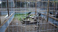 Caring for Peafowl    Just like every living creature, peafowl require care and a good amount of...