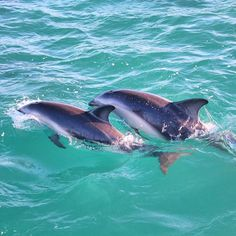 Kaikoura, New Zealand — by The Adventure is Calling. While swimming with the Dusky dolphins in Kaikoura, this mother and calf playfully came to share a few moments with...