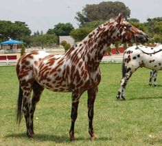 Appaloosa, I think this is Nightingales Monarch, a 2007 foal from South Africa, Leopard pattern.  http://www.allbreedpedigree.com/nightingales+monarch