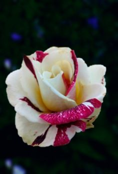 beautiful roses from my garden ii by theresahelmer on.html
