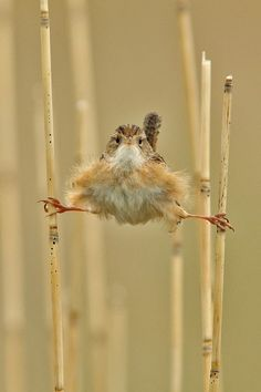 Marsh Wren~Excuse me, but, help!