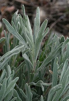 Artemisia ludoviciana - White sage - Aster Family (Asteraceae) - Summer and Late - Colorado Wildflower
