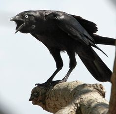 Torresian Crow   Near-lateral view of a cawing Torresian Crow (photo courtesyof A. Ross ...