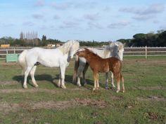 #horse #camargue #foal #ruyblass http://www.chevalcamargue.fr