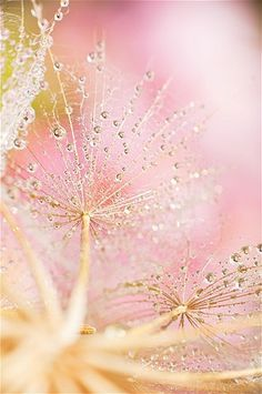 beautiful backgrounds . pink and yellow . seed head ✿