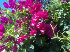 La buganvilla, un arbusto característico de latinoamérica