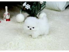Animals - Gorgeous Teacup Pomeranian Puppies for adoption Gorgeous Teacup Pomeranian Puppies for adoption Wilberforce - Ohio White Pomeranian Puppies, Pomeranian Facts, Teacup Pomeranian, Siberian Husky Puppies, Pomeranian Puppy, Husky Puppy, Micro Pomeranian, Puppies For Sale, Cute Puppies