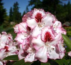 Rhododendron 'Cherry Cheesecake' 1 flower