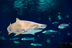 Though many species of shark have long been considered solitary creatures, new research suggests that their social networks may in fact be surprisingly sop Free Photos, Free Images, Behavioural Ecology, Species Of Sharks, Shark S, 1 Image, Free Illustrations, Deep Sea, Social Networks